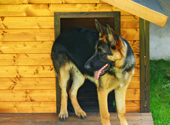 German Shepherd with dog house