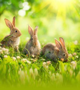 Bunnies in a field