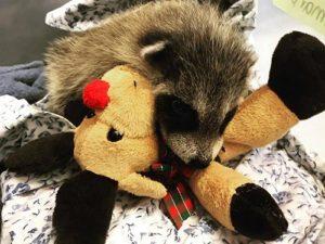 Racoon with a teddy bear